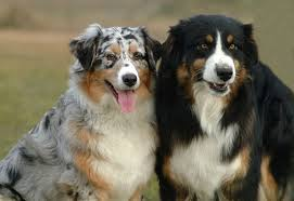 australian shepherd double coat australian shepherd dogs and puppies dog breed journal
