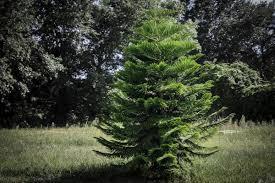 fir trees types