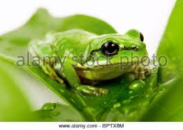 small green tree frog sitting on leaf in stock photo
