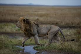 Home Interior Lion Picture Why New U S Protections For Lions Matter