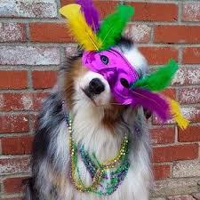 mardi gras jester ribbon dog 19 best mardi gras pets images on mardi gras dog stuff