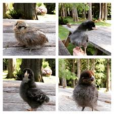 Good Backyard Pets Cents Of Happiness Chickens Really Are Some Of The Best Backyard Pets