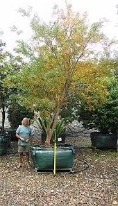 trees and specimen tree nursery about our nursery