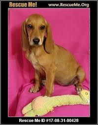 bluetick coonhound dander delaware bluetick coonhound rescue u2015 adoptions u2015 rescueme org
