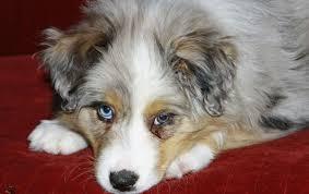 australian shepherd family dog australian shepherd trivia popsugar pets