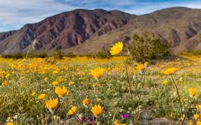 anza borrego wildflowers wildflowers in california witnessing the super bloom inspire