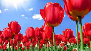 wallpaper bunga tulip wallpaper android iphone wallpaper bunga tulip merah