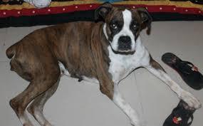 boxer dog female missing dog helpline bulldozer a female boxer dog is missing