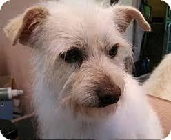 bedlington terrier seattle bandit adopted dog seattle wa westie west highland white
