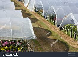 greenhouses growing flowers ornamental plants vegetables stock