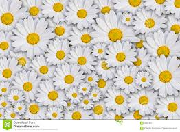 yellow daisy wallpapers backgrounds