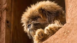 affenpinscher animal planet the 6 least expensive dog breeds to own