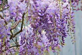wisteria sinensis australian bush flower images of wisteria rain flower purple sc
