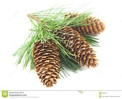 Cone Tree Pine Tree Branch And Cones Royalty Free Stock Photo Image 2071635