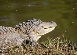 Mississippi wildlife images State 39 s alligator numbers allow hunting for 10th year jpg