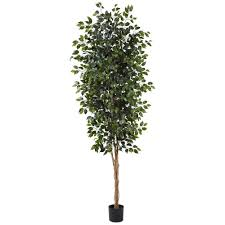 nearly 8 ft ficus tree 5427 the home depot