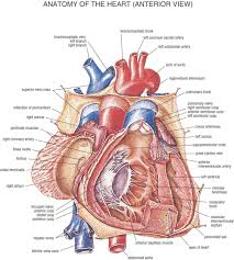 Anatomy Structure Of Human Body Anatomy Structure Of Heart Human Anatomy Chart