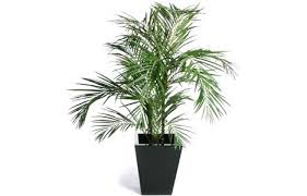 top house plants top indoor plants best air filters for homeareca palm top