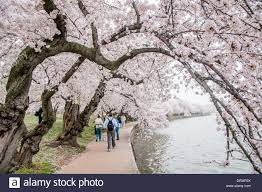Japanese Cherry Blossom Tree by Some Of The Oldest Cherry Blossoms Trees Overhang The Walkway