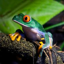 are frogs on the brink of extinction howstuffworks
