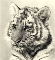 13 best tiger drawings images on pinterest tiger drawing animal