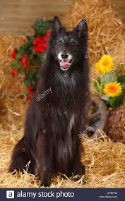 belgian sheepdog breeds belgian shepherd dog mouth stock photos u0026 belgian shepherd dog