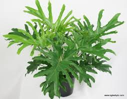philodendron philodendron u0027lickety split u0027 tm