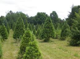 christmas tree farm near me christmas tree farms near me rapidimg