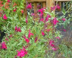 43 best ornamental salvia images on hummingbirds
