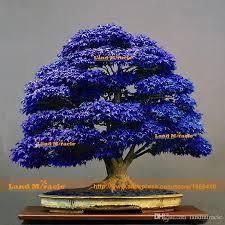 2018 10 seeds pack bonsai blue maple tree seeds bonsai tree seeds