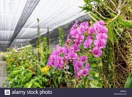 orchid tree blossom stock photos u0026 orchid tree blossom stock