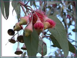 native plants of western australia eucalyptus caesia u0027silver princess u0027 is a mallee eucalyptus native