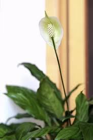 peace lily guide to pruning a peace lily should peace lilies be pruned