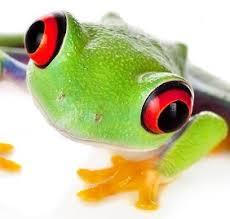 callidryas captive bred eye tree frog