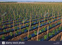 agriculture a field of cucumber plants in early spring supported