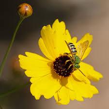 new backyard insect megachilid bee sp subgenus chelostomoides