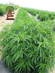 perennial garden vegetables aliexpress com buy 100pcs hemp seeds organic herb food a healthy