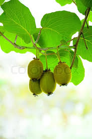 big cluster of kiwi fruit on the tree stock photo colourbox