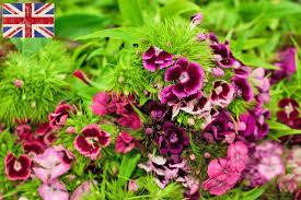 sweet william flowers new covent garden market