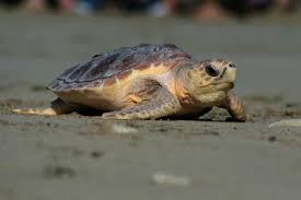 the long conservation studying sea turtles is a practice in
