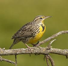 Oregon birds images Western meadowlarks the oregon state bird faith sees birds jpg
