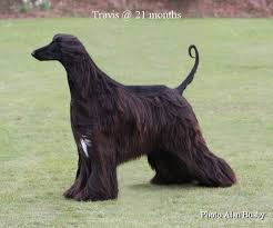 afghan hound dogs 101 afghan hounds a dog i have never owned but would like to one day