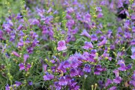 toughest perennials u2013 westwood gardens blog