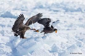 stellers sea eagle wallpapers gallery of steller u0027s sea eagle haliaeetus pelagicus the