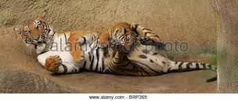 malayan tiger cub stock photos malayan tiger cub stock images
