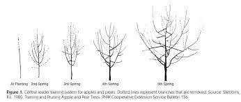 pruning flowering plum trees best flowers and 2017