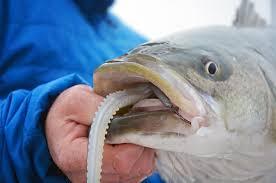 cape cod bay fishing report u2013 may 25 2017 u2013 salty cape