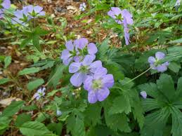 native plant and seed sproutsandstuff tips on growing native woodland plants and