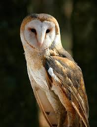Scientific Name Of Barn Owl Species At Risk In Ontario Ontario Ca