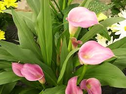 Dragon Lily Flower - bulb growing requirements planting times depths and spacing